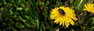 Käfer auf Löwenzahn - Tourlída – Greece