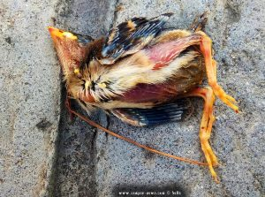 Die Natur ist hart - toter Jungvogel in Pachi – Greece