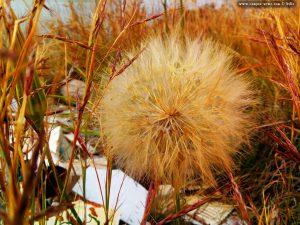 Riesen-Pusteblume - so groß wie eine Orange - Pachi - Greece
