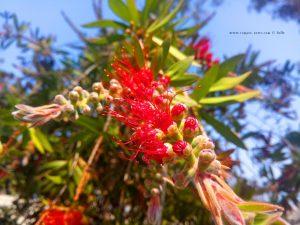 Schöne Blüte in Livanates – Greece