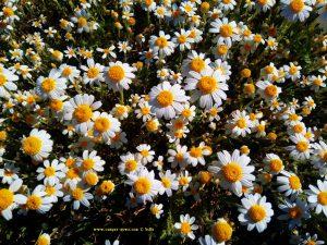 Millionen von Kamillenblüten in Akti - Greece