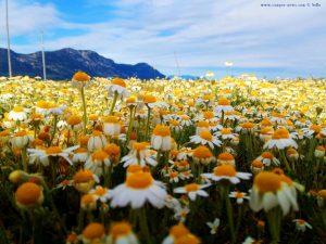 Ein Meer von Kamille-Blüten - die Perspektive macht es aus - Akti – Greece
