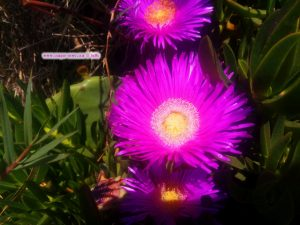 Essbare Mittagsblume am Cap Drepano – Greece