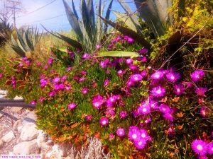 Blütenpracht der essbaren Mittagsblume am Strand von Cap Drepano – Greece