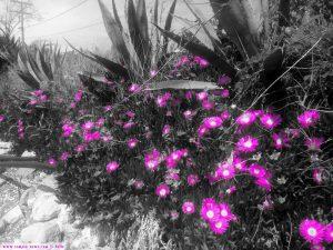 Blütenpracht der essbaren Mittagsblume am Strand von Cap Drepano - Greece Selected Colors