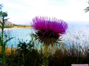 Distel am Amarilidos Beach – Greece