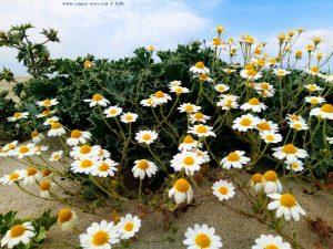 Kamilleblüten am Korinos Beach – Greece