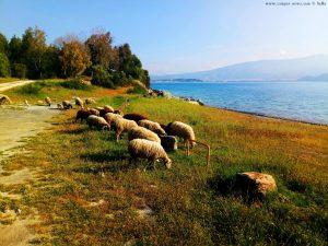 Schafe am Amarilidos Beach – Greece