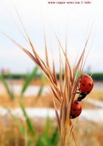 Viele Marienkäfer in Alexandroupoli – Greece