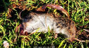 Tote Maus in Nea Chili – Greece