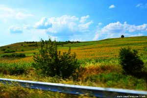 On the Road to Bulgaria - Sunflowerfields all over