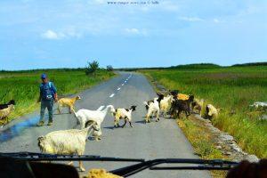 Ziegenherde wechselt die Strassenseite - bei Istria – Romania