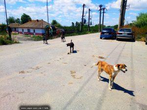 Wilde Hunde in Murighiol – Romania