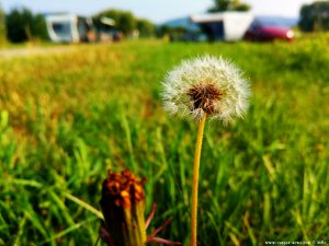 Dandelion (Pusteblume) in the Camping Aurel Vlaicu – Romania