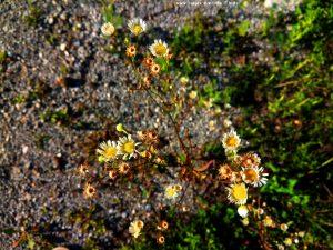 Kamilleähnliche Blüten in Sankt Jakob im Rosental – Austria