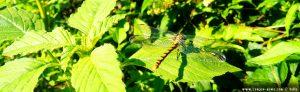 Dragonfly at the Rio Oglio - URAGO D'oglio - Italy