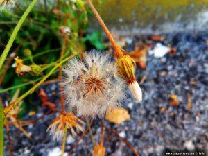 Pusteblume aus dem Asphalt - Mondovì – Italy
