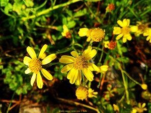 Schöne gelbe Blüten - Casella - Genova - Italy – 410m