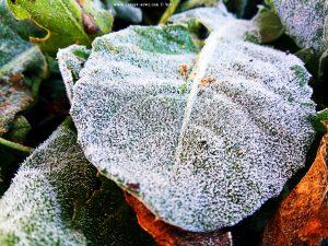 Eiskristalle - Raureif auf den Blättern - Platja L'Almadrava – Spain