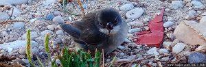 Der kleine Vogel - Platja L'Almadrava – Spain