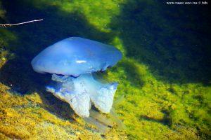 Wurzelmundqualle im Kanal - Playa del Vivero - Playa Honda – Spain