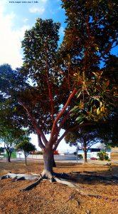 Beeindruckender Baum in El Verger am Parc Caní de la Creu – Spain